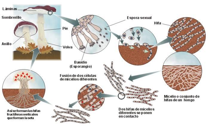 Los medicamentos del hongo