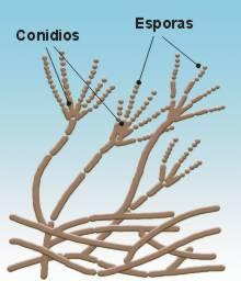 12 protoctistes - El moho es un hongo ...