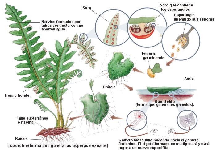 Helechos tipos de reproduccion asexual de las plantas