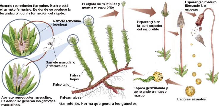 Reproduccion sexual de plantas superiores