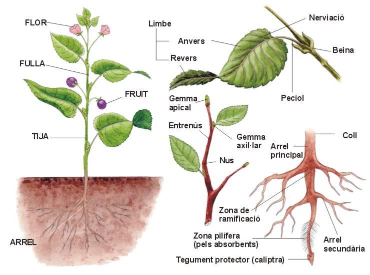 14 les gimnospermes - Noms de plantes aquatiques ...