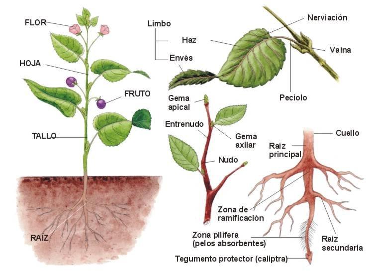 Plantas , clasificación, Angiospermas, Gimnospermas  El cuidado de