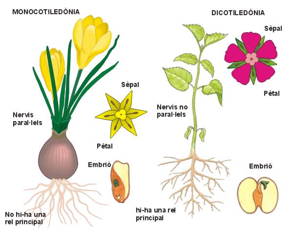 ANGIOSPERMAS Plantas con flores semillas y frutos