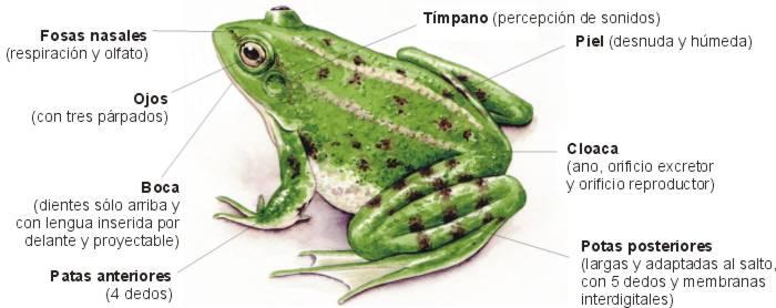 Ciencias Naturales: Anatomía y metamorfosis de los Anfibios (la rana)