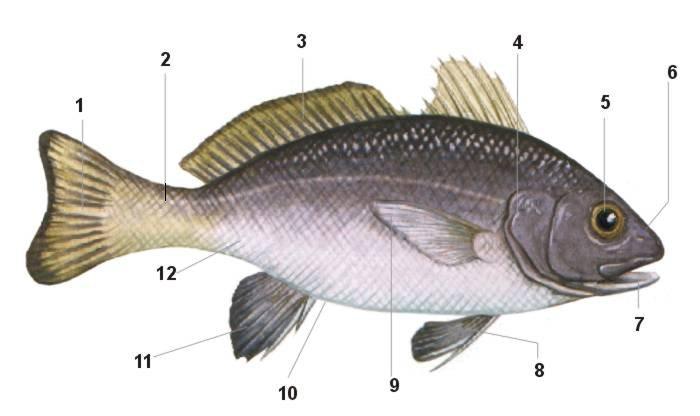 Morfología externa de los peces osteíctios