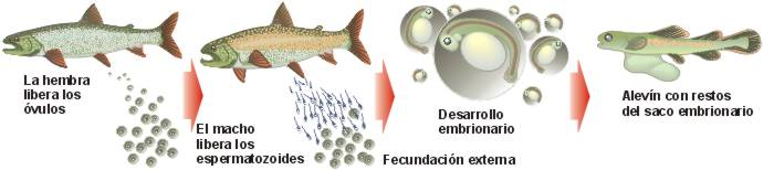 18 pescados y anfibios for La reproduccion de los peces