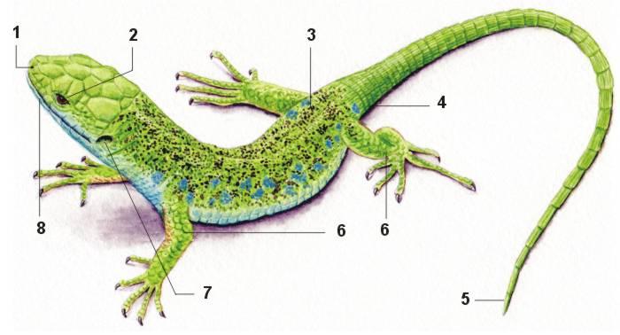 Morfología externa de un lagarto