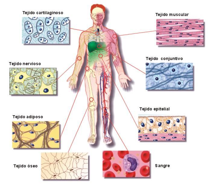 órganos del sistema nervioso
