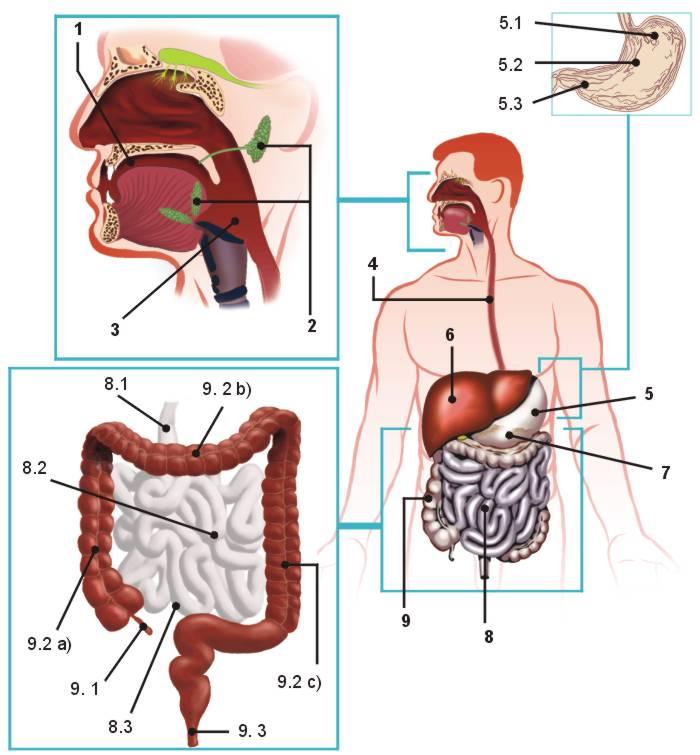 El aparato digestivo humano