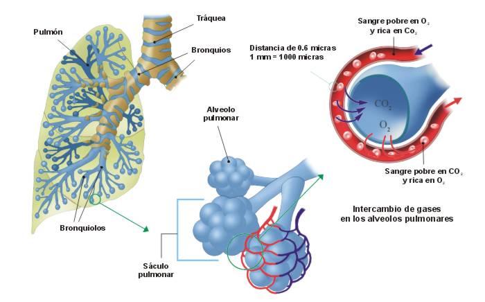 Sistema Respiratorio Resumen Biologialmz