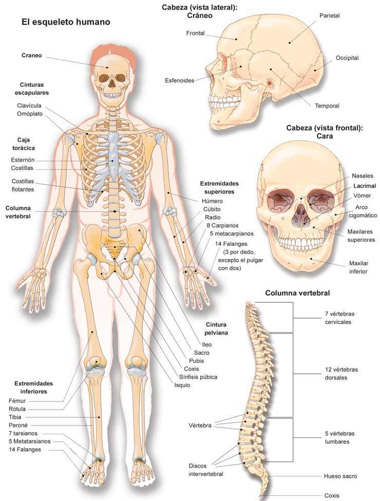 Excelente Sistema De Esqueleto Friso Anatoma de Las Imgenesdel