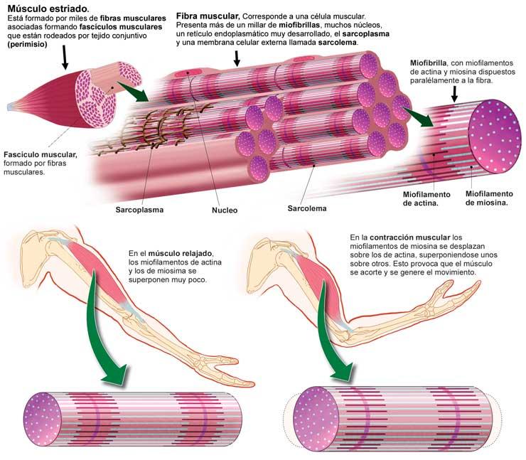 Se distingue tres tipos de tejido muscular: