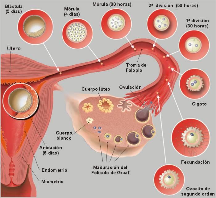 17 el proceso reproductivo humano